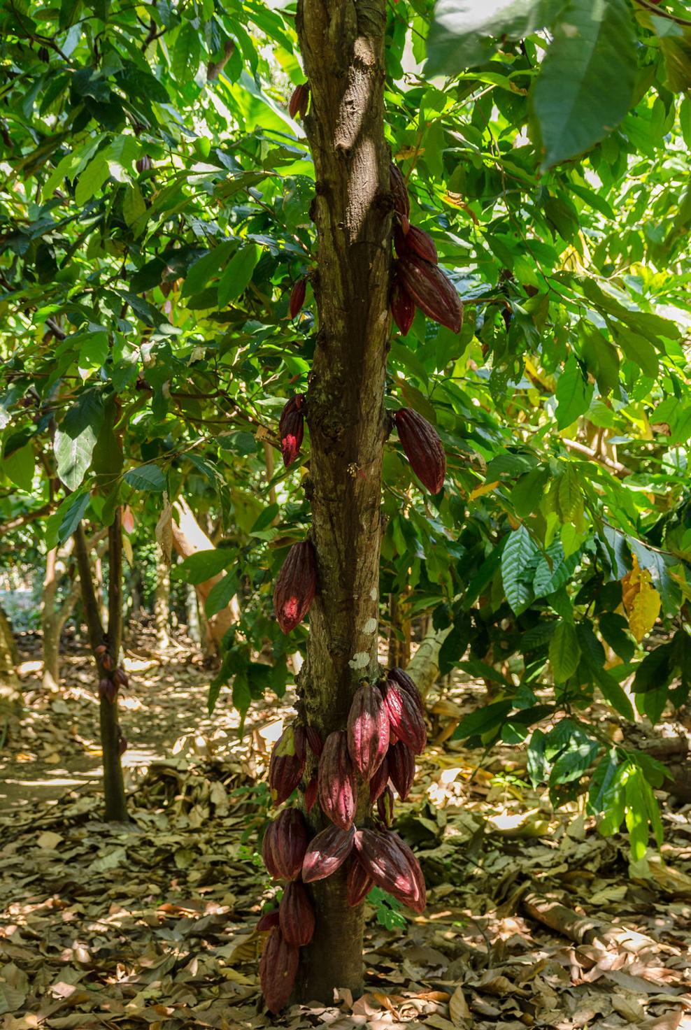 Kakaobaum auf Kakaoplantage